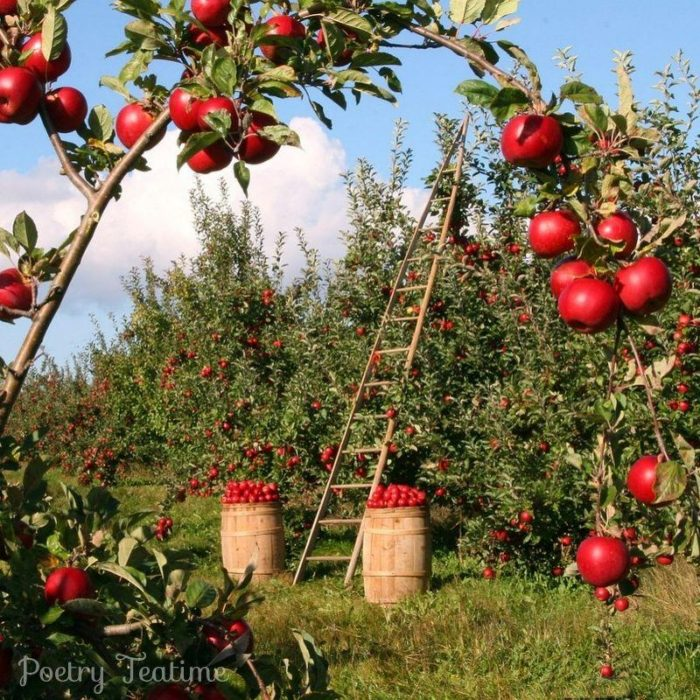 Poetry Prompt: Apple-Picking
